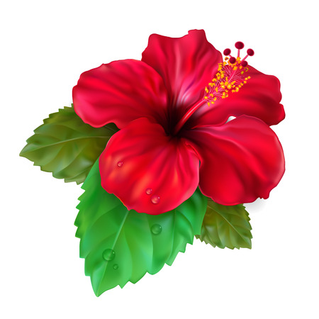 Beautiful blooming tropical flower red hibiscus is also called Chinese Rose. The symbol of Malaysia, Korea and Hawaii. Vector Illustration.