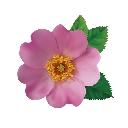 Realistic pink flower of a dog rose Vector illustration