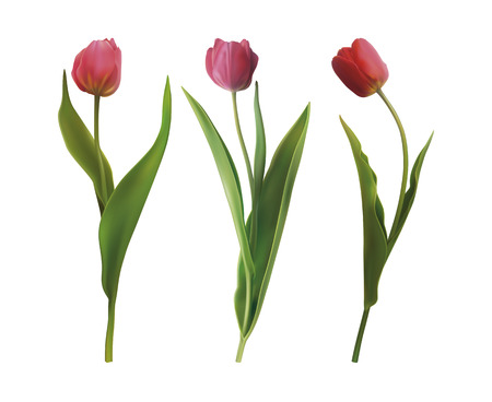 Set of three Tulip flowers isolated on white background. Vector illustration in EPS10 format Vetores