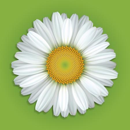 Kwitnie białe stokrotki na zielonym tle