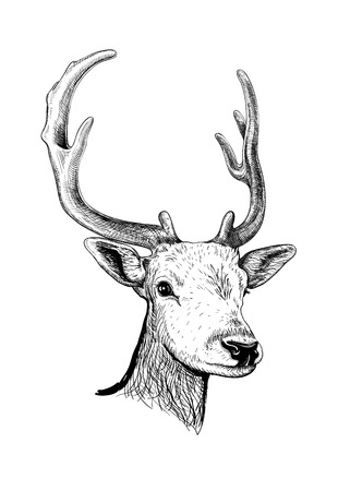 Sketch of the head of a young deer with horns isolated Illustration