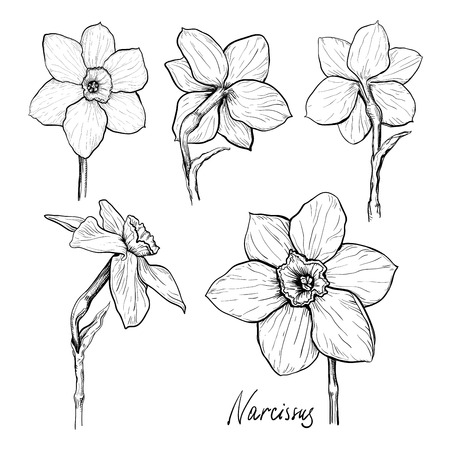 Set of different flowers of Narcissus. Hand drawn sketch. Template for your floral design Vettoriali