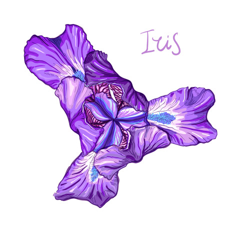 Purple Iris flower on a white background. Hand drawn sketch. Template, design element for the floral composition. Иллюстрация