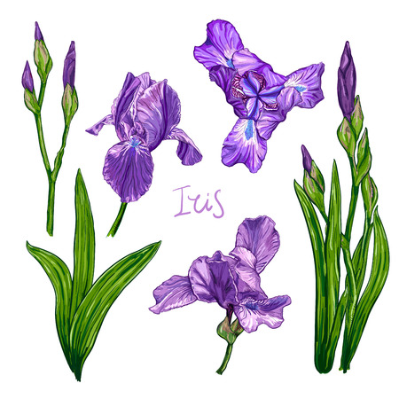 Purple Iris flowers on a white background, Hand drawn sketch, Template, design element for the floral composition.