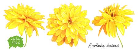 白い背景に隔離されたゴールデンボールとも呼ばれるルドベッキア・ラシニアタの3つの花のセット。手描きのスケッチ。  イラスト・ベクター素材