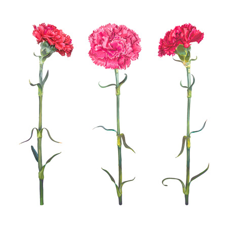 Red Carnation is a symbol of victory, mothers love. Set of three realistic colors isolated on white background. Vector illustration, EPS10 Format. Иллюстрация