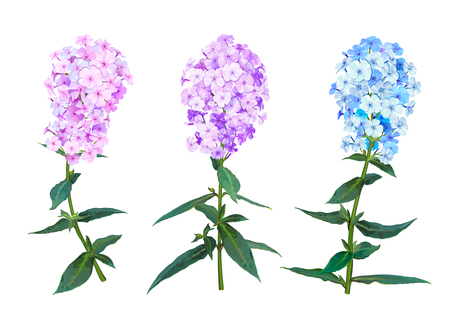 Beautiful Spring Phlox flower. Set of three inflorescence light pink, lilac and blue colors isolated on white background. Vector illustration Imagens - 126583043