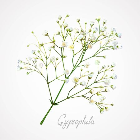 Branch of the gypsophila flower on a light background. Tender, fragile and airy white small flowers on thin green stems. Element for modern romantic floral compositions and bunches Vector Illustration
