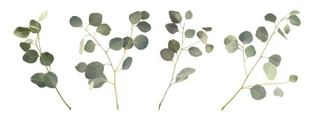 Set branches of Eucalyptus silver dollar isolated on a white background. Vector illustration of greenery, foliage and natural leaves. Design element for floral composition and bunch