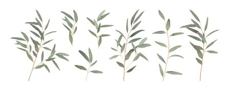 Set different branches of Eucalyptus radiata isolated on a white background. Vector illustration of greenery, foliage and natural leaves. Design element for floral composition and bunch