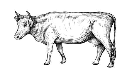 Hand-drawn vector illustration of a cow isolated on a white background. Side view. Animal husbandry. Black and white sketch