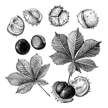 Set of different hand drawn leaves and fetus of chestnuts. Vector illustration in sketch style, botanical design elements isolated on a white background