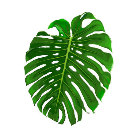 Leaf of tropical monstera isolated on white background. Realistic vector illustration. Floral and botanical design element