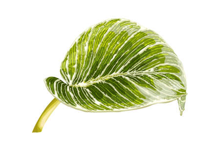 Leaf of tropical Philodendron Birkin isolated on white background. Realistic vector illustration. Floral and botanical design element Ilustrace