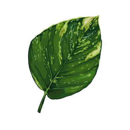 Leaf of tropical Epipremnum isolated on white background. Realistic vector illustration. Floral and botanical design element