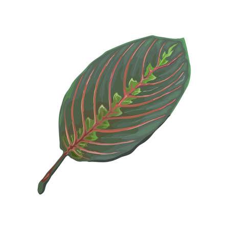 Leaf of tropical Maranta Leuconeura Fascinator isolated on white background. Realistic vector illustration. Floral and botanical design element Ilustrace