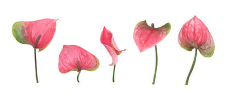 A set of five different Anthurium flowers isolated on a white background. Bright green-pink buds. Vector botanical illustration. Exotic and tropical elements for design wedding invitations and cards Ilustrace