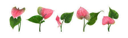 A set of different Anthurium flowers with leaves isolated on a white background. Bright green-pink buds. Vector botanical illustration. Exotic tropical elements for design wedding invitations, cards