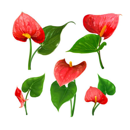 A set of different Anthurium flowers with leaves isolated on a white background. Bright red buds. Vector botanical illustration. Exotic tropical elements for design wedding invitations, cards
