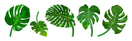 Set of different tropical leaves. Green leaf Monstera isolated on white background. Realistic vector illustration. Floral and botanical design element Illustration