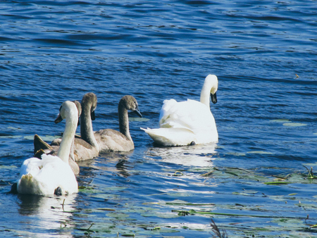 Swans fammily in the water. with babies. Vintage filter.