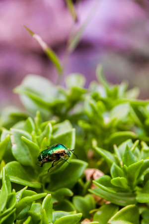 scarabaeidae: The family Scarabaeidae as currently defined consists of over 30,000 species of beetles worldwide
