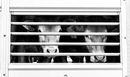 suplicando: ojos de las vacas detr�s de la cerca de declararse