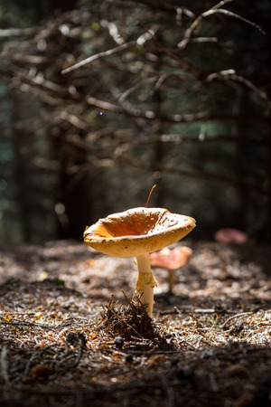 Isolated mushroom lightened by sunglight in the underwood. Fall, autumn