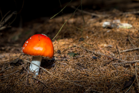 under ground: Red mushroom (Amanita Muscaria, Fly Ageric or Fly Amanita) in underwood