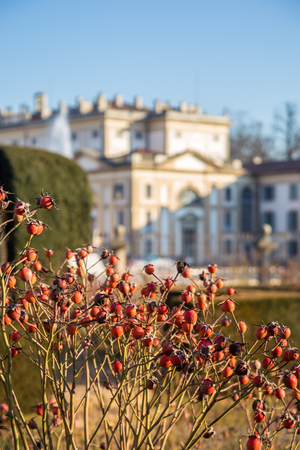 monza: Rose plants sprout in front of Villa Reale, Monza. Kings palace. Lombardy, Italy