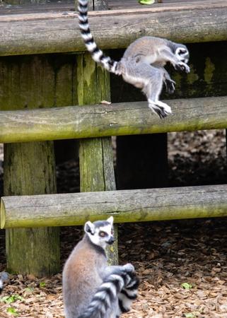 salto de valla: Lemur saltando la cerca
