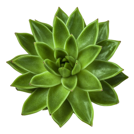 Succulent plant top view, isolated on white background. Echeveria.