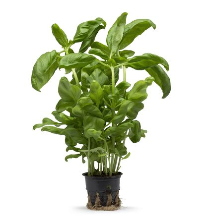 Basil plant growing in a plastic pot isolated on white background Stockfoto - 135035046