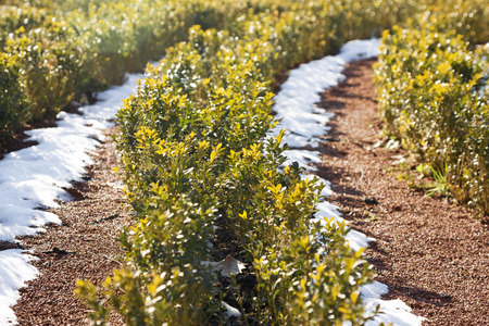 bush to grow up: green plants in the spring sunshine and snow