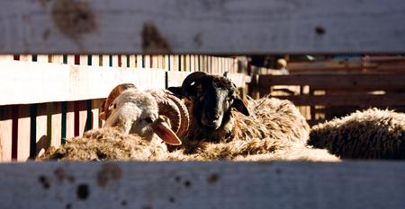 elasticidad: ovejas comen hierba y mirando a ti