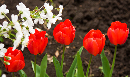 misses: colorful tulips blossoming in the spring in the Park Stock Photo