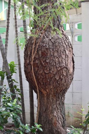 bulge: Irregular Shape Tree  Pregnant Tree