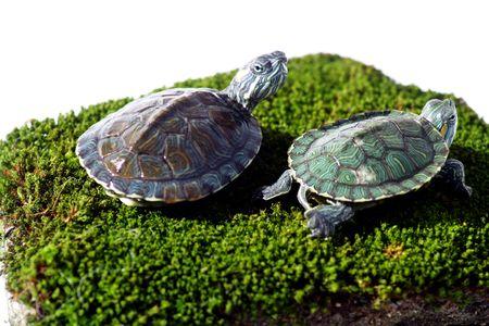 alga: A pair of little tortoise on alga stone Stock Photo