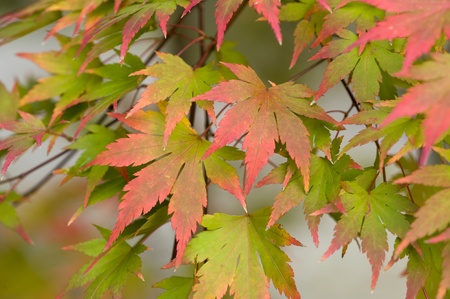 acer palmatum: acer palmatum autumn foliage Stock Photo