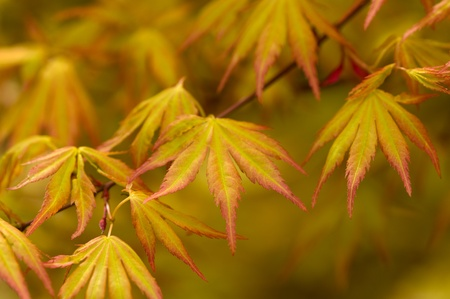 japanese acer leaves in spring photo