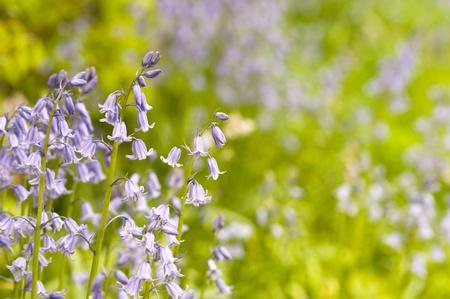native English bluebells in springtime