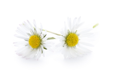cut flowers: two daisy flowers isolated on a white background Stock Photo