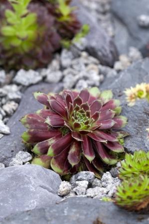 drought    resistant plant: sempervivum commander hay