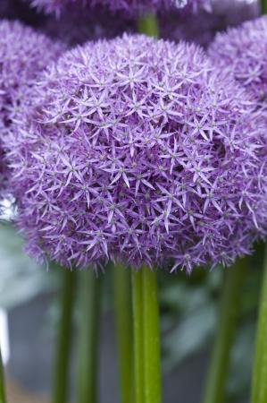 flowerhead: allium flowerhead pinball wizard