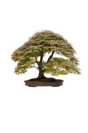 acer palmatum: japanese maple acer palmatum deshojo bonsai tree isolated  Stock Photo