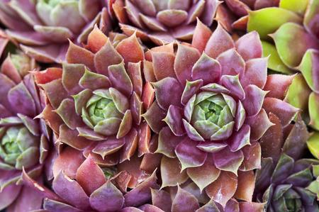 sempervivum houseleeks hens and chicks macro close up 版權商用圖片