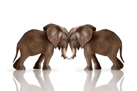 elephants pushing against each other isolated on white background 版權商用圖片