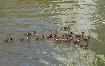 Duck mallard with small ducklings in the pond on a sunny summer day