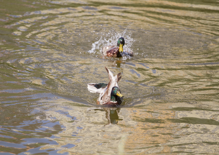Male Mallard Duck Spreading Wings in Water