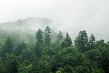 Healthy green trees in a forest of old spruce, fir and pine. Spruce trees down the hill to coniferous forest in fog at sunrise